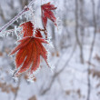 Maple leaf in winter. - Stock Photo