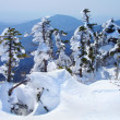 Snow-covered fir-trees. - Stock Photo