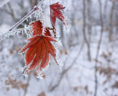 Maple leaf in winter. — Stock Photo