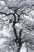 The snow on the black tree. — Stock Photo