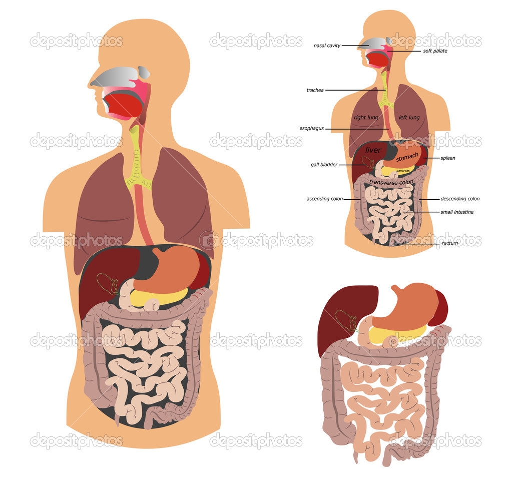 Digestive system, detailed medical illustration. — Stock Vector #7388526