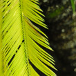 Sago cycas (Cycas revoluta) leaf — Stock Photo