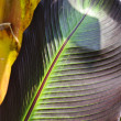 Banana palm (Musa Acuminata Colla) leaf — Stock Photo