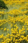 Field of gray santolina (Santolina Chamaecyparissus) flowers — Stockfoto
