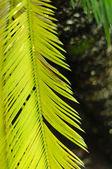 Sago cycas (Cycas revoluta) leaf — Stock Photo