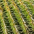 Detail of a golden barrel (Echinocactus grusonii) cactus - Stock Photo