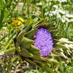 Globe artichoke (Cynara cardunculus) blooming — Stock Photo