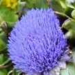 Globe artichoke (Cynara cardunculus) blooming — Stock Photo #7479315