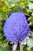 Globe artichoke (Cynara cardunculus) blooming — Stock Photo