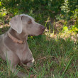 Beautiful Weimaraner dog resting in the shade on a hot sunny day — Stock Photo