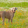 Stock Photo: Beautiful Weimaraner dog looking at viewer