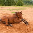 Stock Photo: Dirt covered Arabihorse getting up after enjoyable roll