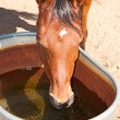 Thirsty red bay Arabian horse drinking — Foto Stock