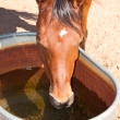 Thirsty red bay Arabian horse drinking — Stock Photo