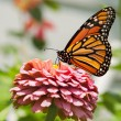 Monarch butterfly feeding on pink Zinnia — Stock Photo #6779578