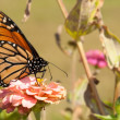 Gorgeous Monarch butterfly feeding on a flower — Stock Photo