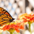 Stock Photo: Migrating Monarch Butterfly refueling on orange Zinnia