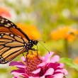 Monarch butterfly, Danaus plexippus - Stock Photo