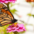 Colorful migrating Monarch butterfly feeding on a flower — Stock Photo