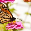 Colorful migrating Monarch butterfly feeding on flower — Stock Photo #6779851
