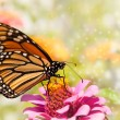 Dreamy image of a Monarch butterfly on a pink Zinnia — Stock Photo