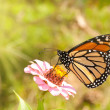 Monarch butterfly feeding on a pink Zinnia — Photo