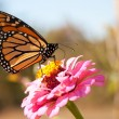 Stock Photo: Migrating Monarch butterfly refueling on bright pink Zinniflower