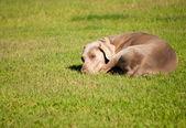 Výmarský ohař pes spí na trávě za slunečného letního dne — Stock fotografie