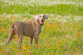 Beautiful Weimaraner dog looking at the viewer — Stock Photo