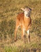 Beau petit agneau au pâturage d'automne — Photo