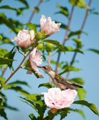 Lazy little hummingbird sitting on an Althea flower — Stock Photo