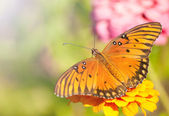 Dorsal view of an orange, silver and black Gulf Fritillary butterfly — Стоковое фото