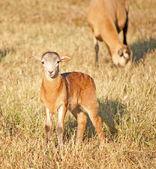 在牧场好奇地看着小羊羔 — 图库照片