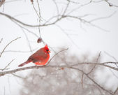 Bright red male Cardinalis cardinalis, Northern Cardinal — Stock Photo