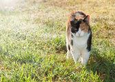 Bellissimo gatto calico camminando sull'erba — Foto Stock
