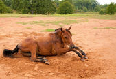 A dirt covered Arabian horse getting up after an enjoyable roll — Stock Photo