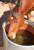 Bay Arabian horse drinking from a water trough — Stock Photo
