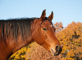 Red bay Arabian horse against trees in fall colors — Stock Photo