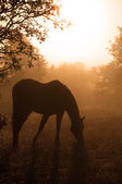 Silhouette of a grazing Arabian horse in heavy fog — Stock Photo