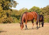 Bay Arabian horse in pasture — Stock Photo