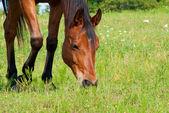 Cerrar la imagen de un caballo rojo bahía de pastoreo — Foto de Stock