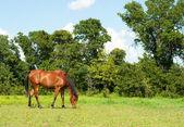 Shiny bay Arabian horse grazing — Stock Photo