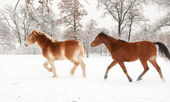 Two horses trotting and playing in snow — Stock Photo