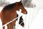 Bay horse eating ice off a fence wire in winter after an ice storm — Stock Photo