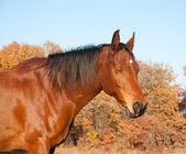 Red bay Arabian horse taking a nap in the sun — Stock Photo