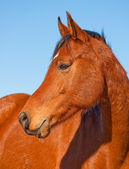 Profile of a beautiful red bay Arabian horse — Stock Photo