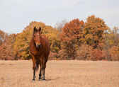 Red bay Arabian horse in dry fall pasture with muted fall color trees — Stock Photo