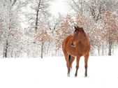 Bay Arabian horse in snow on a cold winter day — Stock Photo