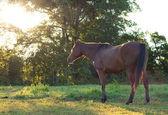 Arabian horse in summer pasture at sunrise — Stock Photo