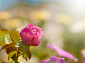 Deep pink rose in autumn garden — Stock Photo